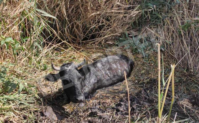 На Днепропетровщине пятеро спасателей вытащили корову из болота